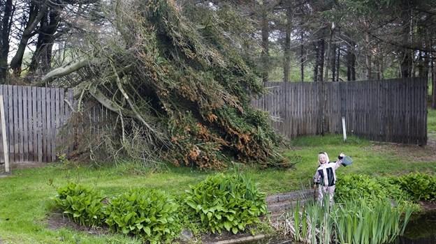 Hvert år er der et stort arbejde med at vedligeholde Vendsyssel Plantage.  Billedet er taget for nogle år siden.   Arkivfoto: Kurt Bering