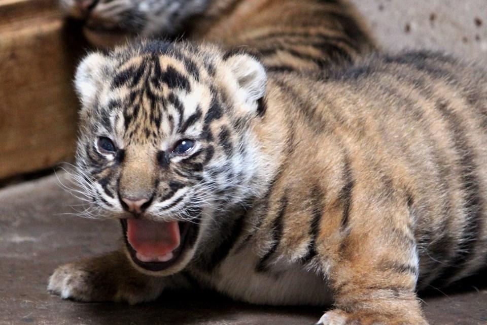 De små nuttede tigerunger og dinosaurudstillingen er populære. I hvert fald har zoo haft flere gæster her i foråret. Foto: Aalborg Zoo