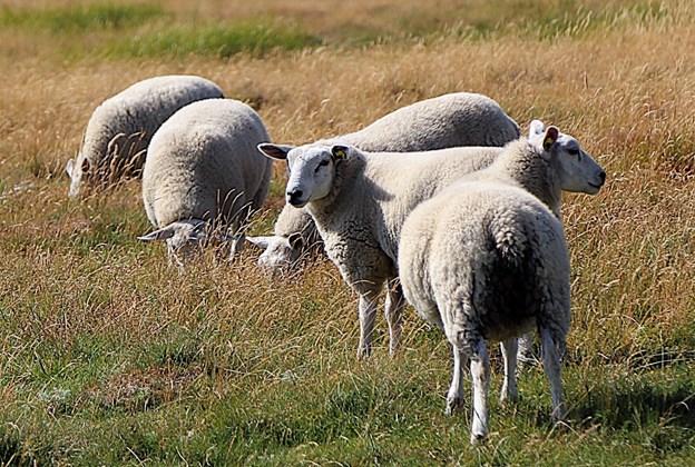 Græssende dyr mangler både foder og vand i varmen. Arkivfoto