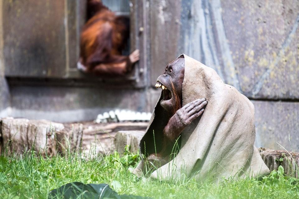 Hver abe synger med sin mund - og måske kan sangeren her på billedet ikke måle sig med f.eks. den spanske tenor Plácido Domingo i regulær sangpragt - men til gengæld er underholdningsværdien ganske betydelig hos den skønne abe. Arkivfoto: Andreas Falck
