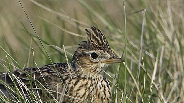 Dansk Ornitologisk Forening Nordjylland, Danmarks Jægerforbund og LandboNord vil gøre noget for at få flere fugle i naturen.Arkivfoto: Henrik F. Nielsen