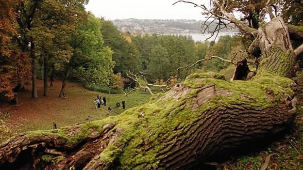 Døde træer i Hobro Østerskov gavner naturen