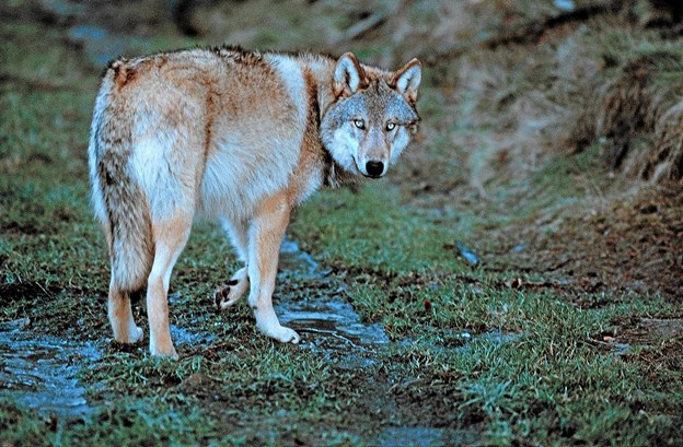 Ulven er kommet ....  Foto: Ukendt