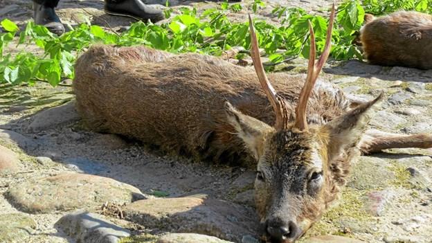 Der bliver lejlighed til at præsentere jagtbyttet ved årets bukketræf på Børglum Kloster. Foto: Arkivfoto