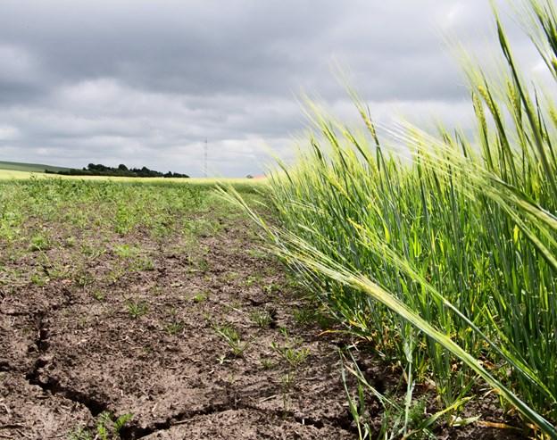 På grund af det langvarige og regnfattige sommervejr 2018 blev udbyttet på markerne mange steder markant lavere.             Arkivfoto: Matthew Burnett