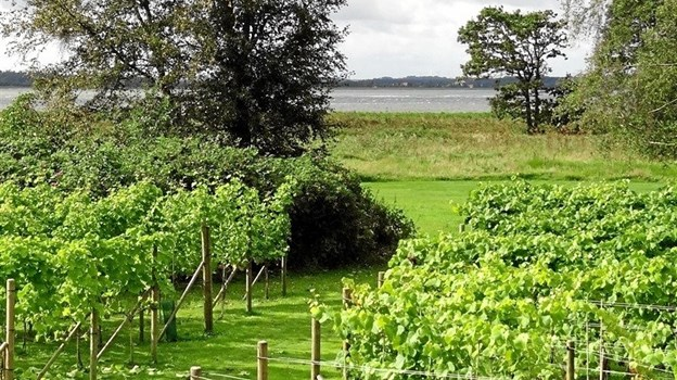 Vinmarkerne ligger smukt ned til Mariager Fjord. Foto: privat.