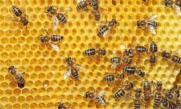 De små bier er vigtige bestøvere