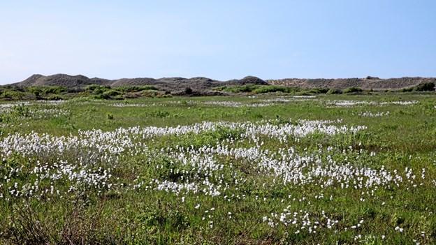 Kærulden blomstrer på området efter afvandingsgrøfterne er lukkede. Foto: Karsten Frisk. KARSTEN FRISK