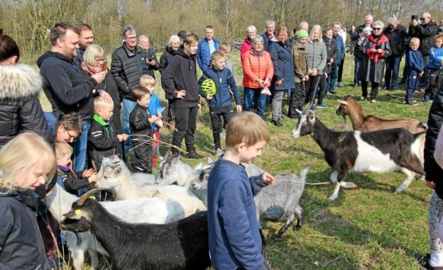Det var lidt af en folkefest, da gederne i lørdags blev sluppet på græs i Ekko Parken. Foto: Jørgen Ingvardsen