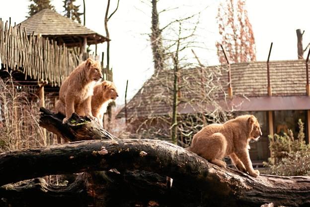 En af klubbens frivillige, Paloma, havde kamera med og fangede dette flotte billede af løveungerne. Privatfoto