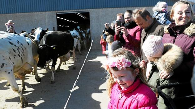 Køerne blev lukket ud af stalden for første gang i år. Foto: Allan Mortensen