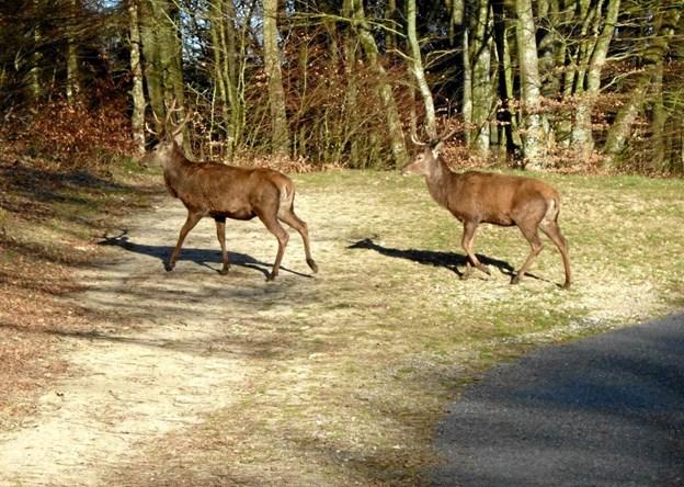 I søndags stødte vi på disse flotte kronhjorte. De gik og græssede, men gik lige ud foran os, de løb ikke, men hvor er de flotte.  Foto: Kirsten Bombæk