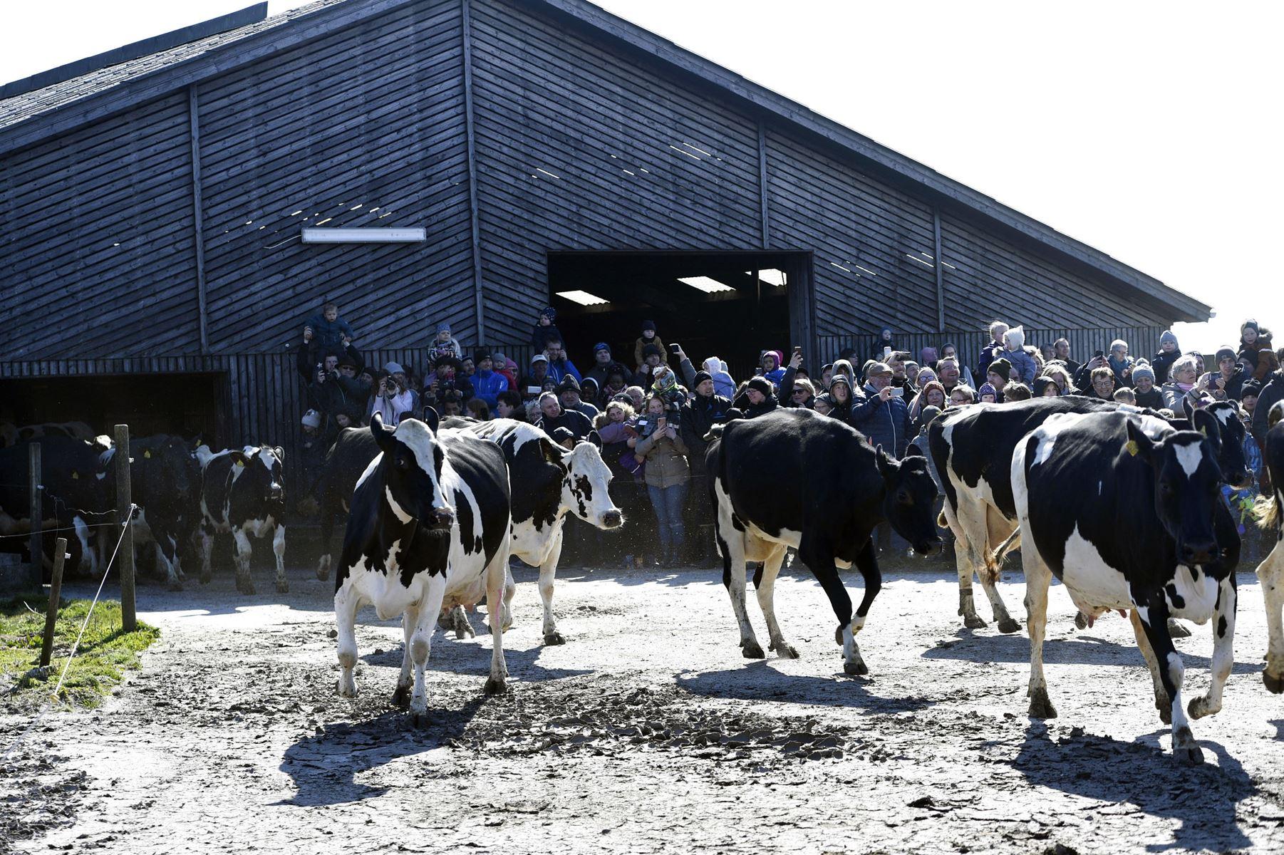 De økologiske køer skaber en feststemning, når de sendes på græs, mener formand for Økologisk Landsforening.