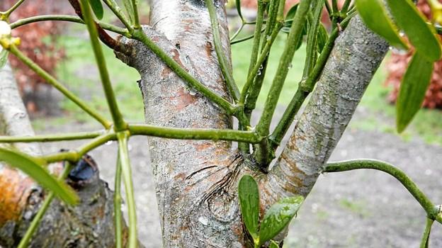 Mistelten bruger de første år til at suge sig fast og sende sine rødder ind under barken på æbletræet. Her har den fået godt fodfæste. Grøn Kommunikation