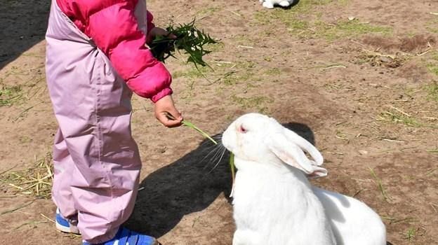 Specielt museets mange kaninunger og de frække gedekid fik stor opmærksomhed fra de mindste gæster. ?Privatfoto
