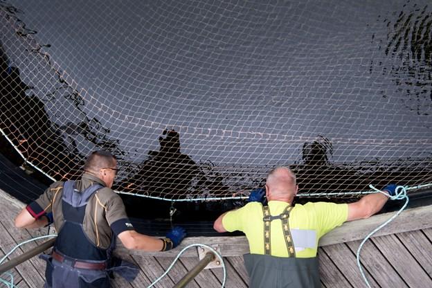 Det gælder om at komme godt ud i hjørnerne, når det ca. 700 kvadratmeter store net skal monteres forsvarligt. Rasmus Mikkelsen, til venstre, og Peter Holm er meget omhyggelige med fastgørelsen.