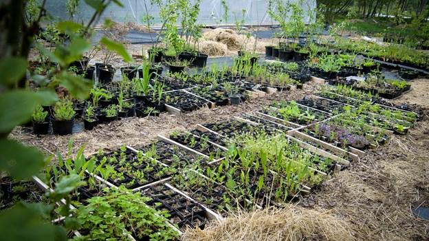 Masser af andenårsplanter er klar. Foto: Bo Lehm
