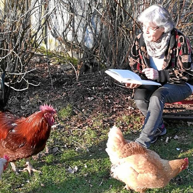 En blind høne finder som bekendt også korn. Det er da logik for perlehøns. Privatfoto