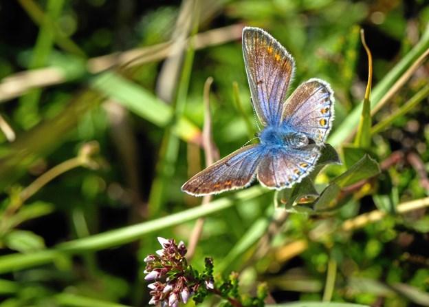 Sommerfugle vil kunne ses på hederne. Her er det Foranderlig blåfugl. Foto: Karsten Frisk. Karsten Frisk