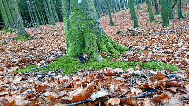 Et tykt lag mos i den smukkeste grønne farve ses ved foden af mange træstammer i Legind Bjerge.