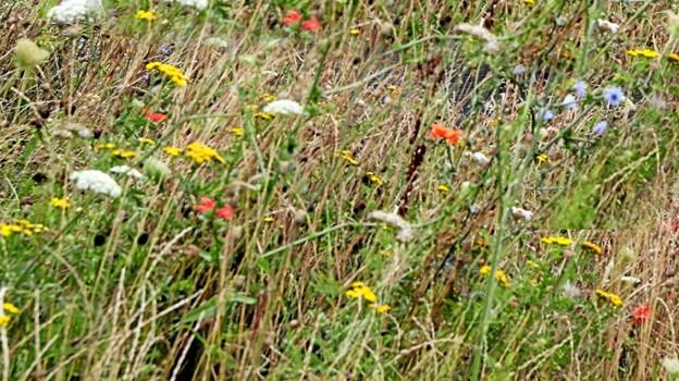 Der er fokus på biodiversiteten på Vester Hassing Kirkegård. Det kan man høre mere om ved en kirkegårdsvandring 14. september. Foto: Allan Mortensen