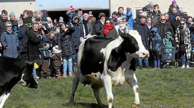 Malkekøerne af racen Holstein kom på græs. Foto: Allan Mortensen Allan Mortensen