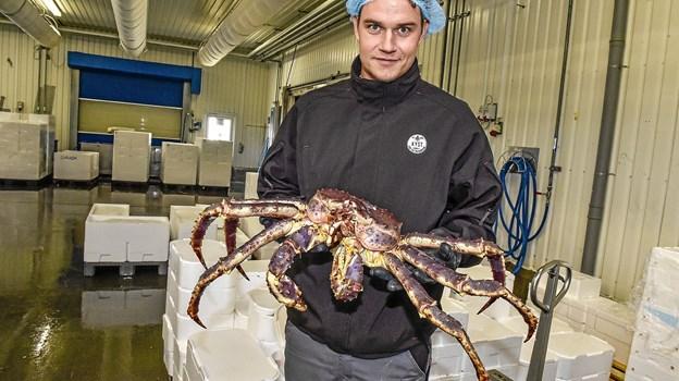 Den stadigt meget levende krabbe er mandag sendt videre til Fyn. Her viser Thomas Sekkelund fra Kyst den dyre krabbe frem. Den kommer til at koste i omegnen af 2000 kroner. Foto: Ole Iversen