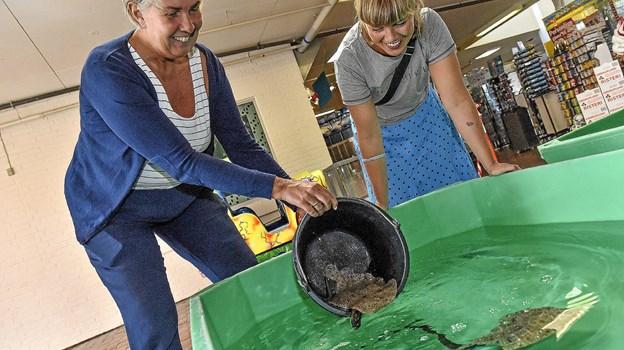 Børnene kan røre og se levende fisk, krabber og hummer. De to eventkoordinatorer Berit Holtebo (tv) og Maria Vangsgaard sætter pighvarrer ud i rørebassinerne. Foto: Ole Iversen