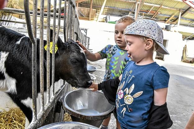Kalvene går hver for sig indtil de har lært at drikke mælk. Senere kommer de sammen med andre kalve i større båse med rigelige mængder af halm. Foto: Ole Iversen