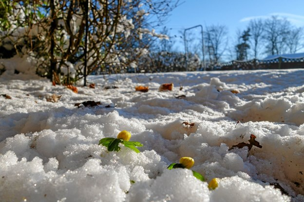 Erantis pibler frem i haverne lige nu. Det er et flot syn på en vinterdag med strålende sol. Foto: Niels Helver Niels Helver