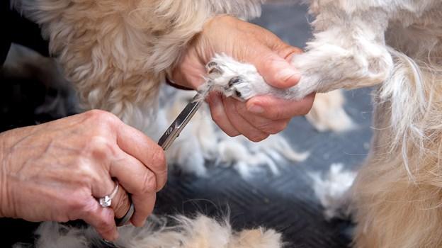 Den skarpe saks klarer behændigt den lille hunds poter. © Lars Pauli