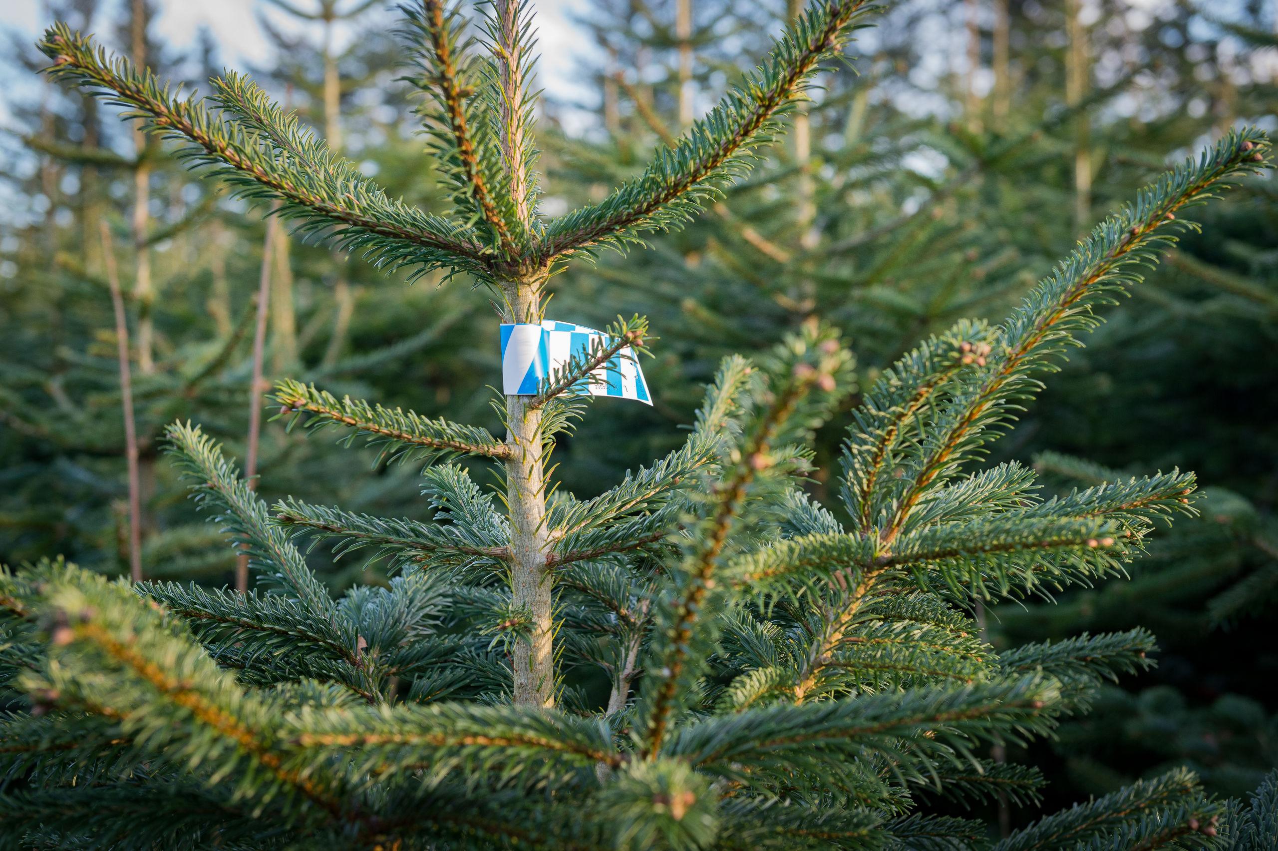 Nordmannsgranen er det mest populære juletræ i Danmark efterfulgt af Rødgran og Nobilis.  Arkivfoto: Kim Dahl Hansen