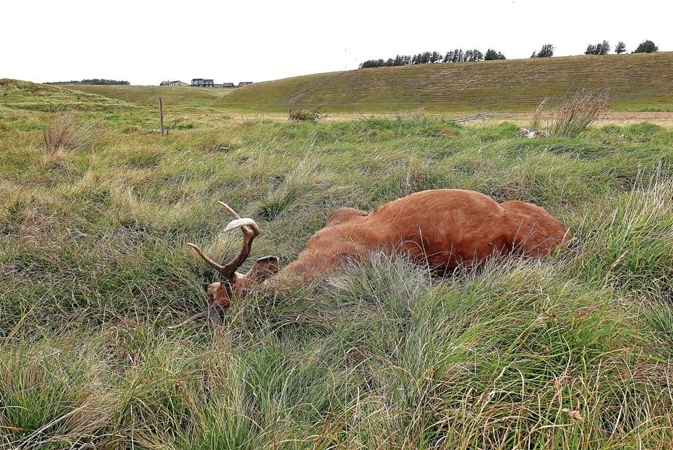 Arkivfoto fra starten af oktober, hvor dyret netop er blevet lagt ud på stedet. Foto: Ole Iversen