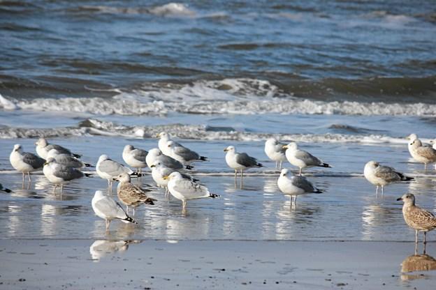 Mågerne er en fast bestanddel af stranden i Blokhus. Foto: Flemming Dahl Jensen Flemming Dahl Jensen
