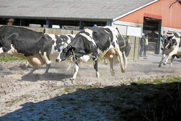 115 Malkekøer kom ud på græs. Foto: Flemming Dahl Jensen Flemming Dahl Jensen