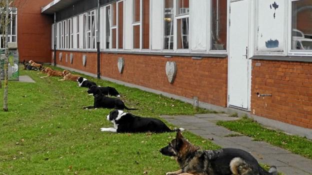 """En situation fra disciplinen dæk i A-klassen. Hundeførerne har kommanderet """"dæk"""" og går nu hen og gemmer sig. Hundene skal så blive liggende i tre minutter. Foto: Ole Torp Ole Torp"""