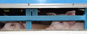 Landmænd fra Thy risikerer bøde: Far og søn tiltalt for at køre med syge grise