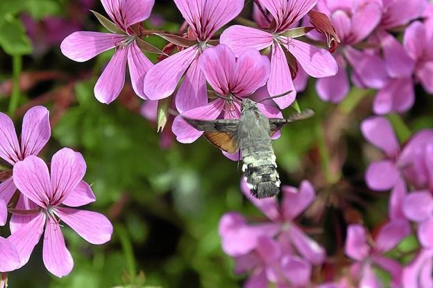 Duehalen, her fotograferet i Thisted Kommunes blomsterdekoration på Lilletorv i Thisted, ligner og opfører sig om en lille kolibri - men er en aftensværmer der er fløjet nordpå med varmen.Foto: Ole Iversen