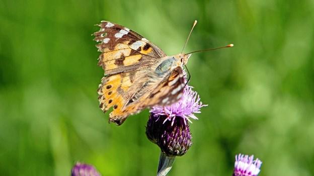 Hvem kunne vide at sommerfugle har hår på ryggen? Foto: Nanna Højbjerg