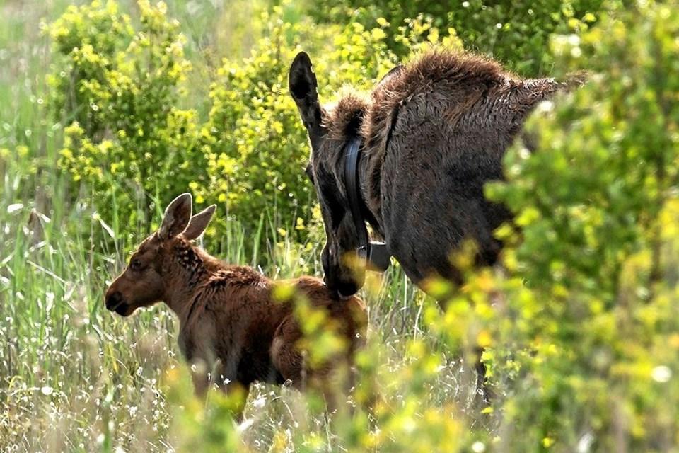 Ta' med på udkig efter områdets elge og de nyfødte elgkalve Foto: Frans Ritter