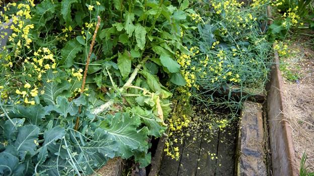 I løbet af en sæson skal der gerne kunne høstes to gange. Foto: Bo Lehm