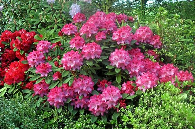 Der er mulighed for at studere rododendron tæt på. Privatfoto