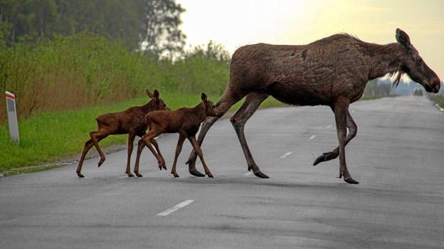 Elgene har fået kalve – måske vi er heldige at se dem. Foto: Pernille Skov Nielsen
