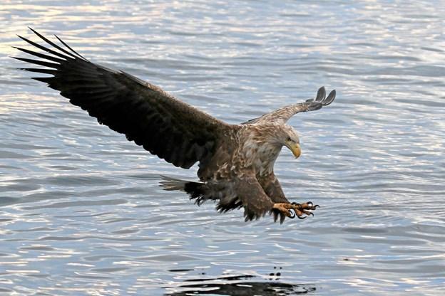 Havørnen - lige før den slår en and eller en fisk. Det kunne være ved Ove Sø eller ved Nors Sø, Agger Tange eller ved Vejlerne. Foto: Erik Biering