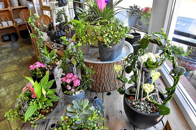 Oasen vil altid have et stort udvalg af sammenplantninger. Foto: Ole Iversen