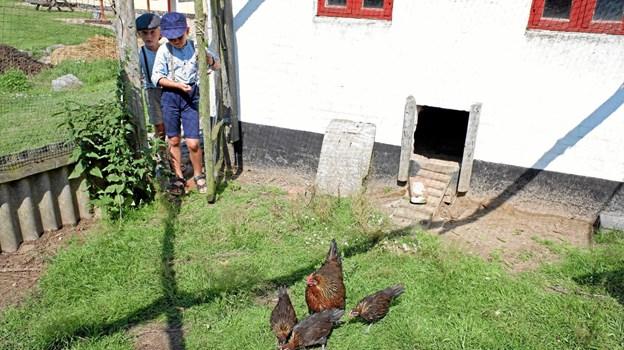Asle og Magne fodrer hønsene. Foto: Niels Helver Niels Helver