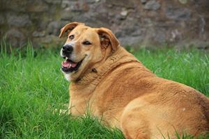 Ny forskning: Tykke danskere har tykke hunde