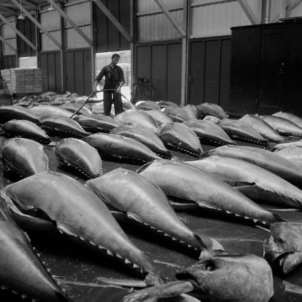 Fra 1920'erne og til 1960'erne var fangst af tun en stor indtægt for fiskerne i Skagen. Tun i lange rækker var ikke noget særsyn. Siden forsvandt fiskene dog, sandsynligvis på grund af overfiskeri. Foto: Scanpix