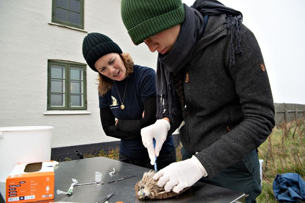 Sarah Bedford (t.v.) fra England og Lisa Vergin fra Tyskland har lært en masse om fugle - blandt andet om fuglenes indre - i de uger i september og oktober, hvor de har som frivillige på Skagen Fuglestation på Grenen.