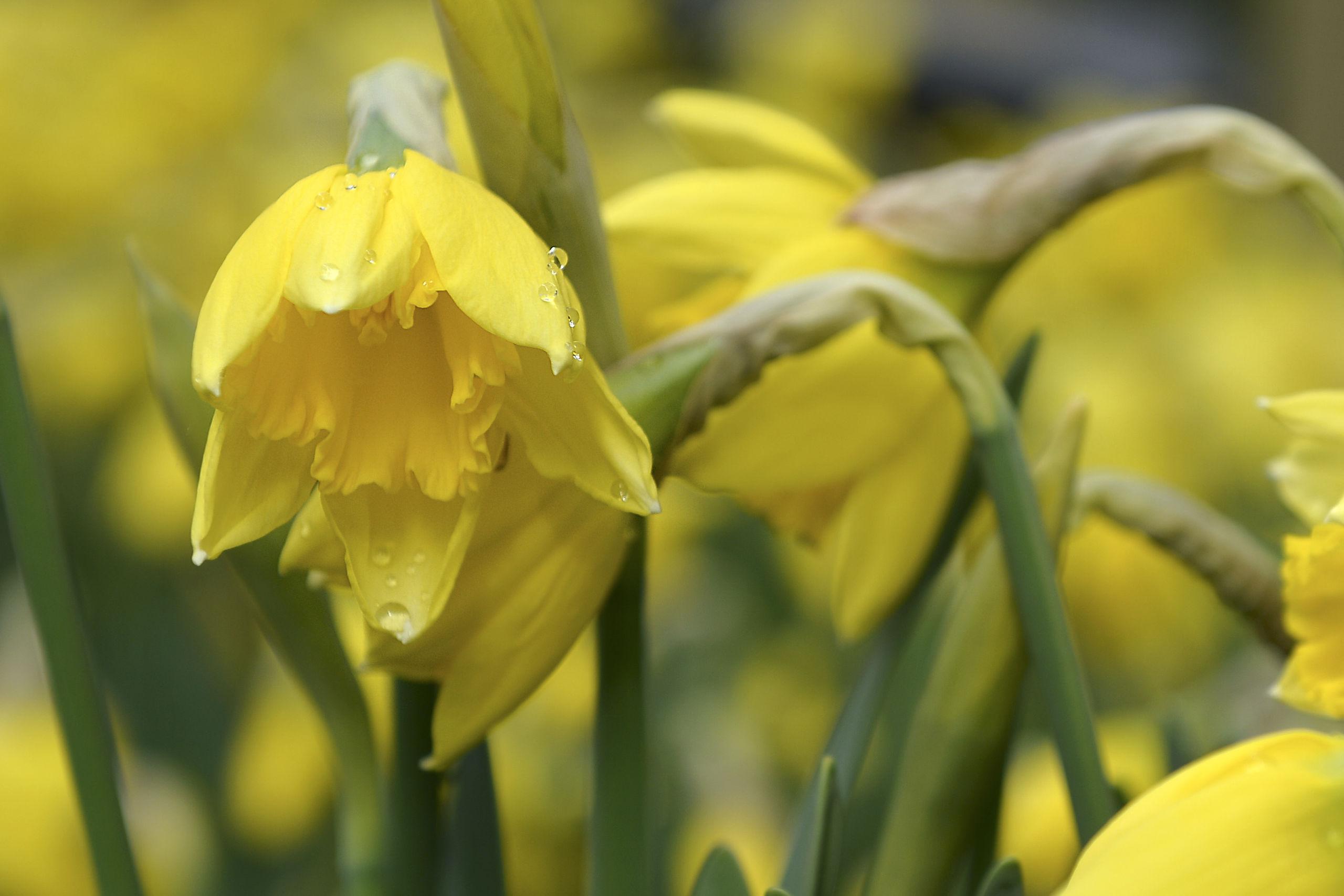 Vær med til at redde påskeliljer: Her kan du hente gratis blomsterløg